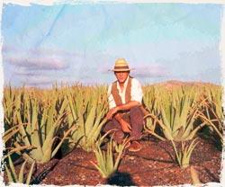 Agricultor Aloe Vera Fuerteventura