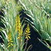 Cultivo Plantas de Aloe Vera - AbsolutAloe